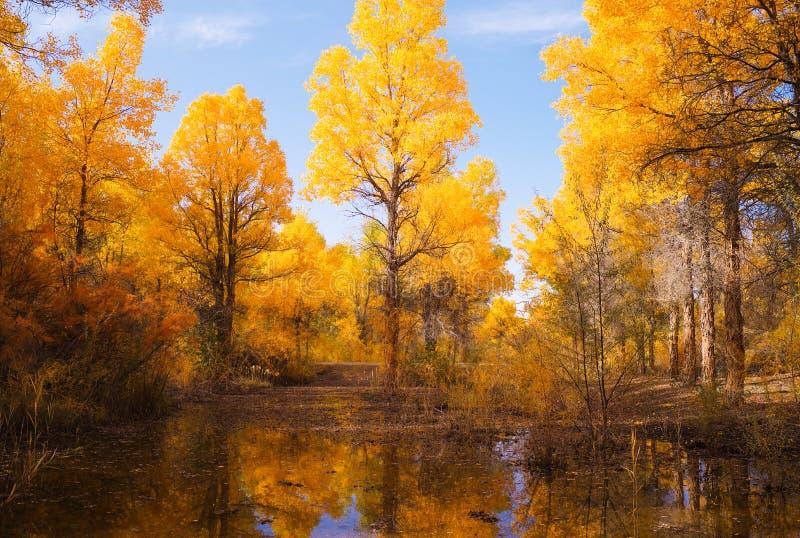 Foresta dorata del pioppo immagine stock