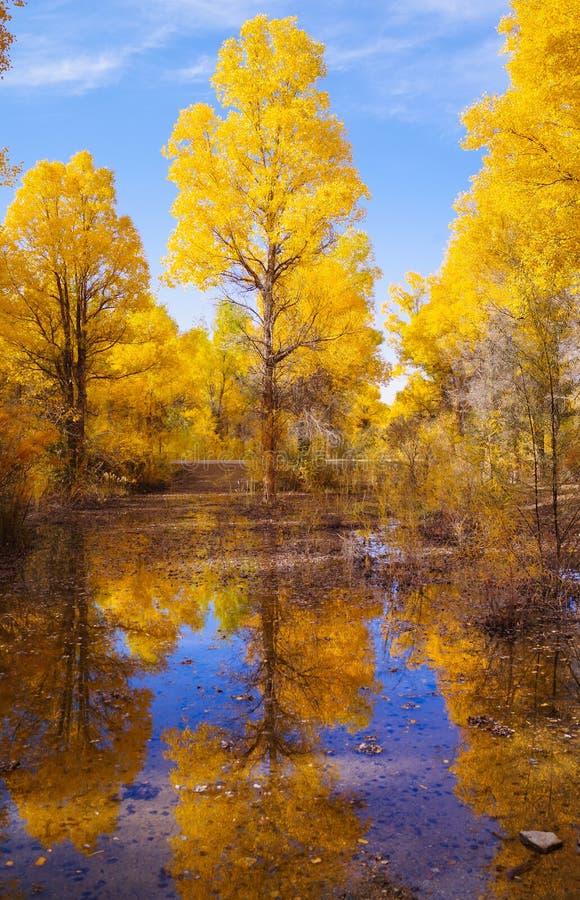 Foresta dorata del pioppo fotografia stock libera da diritti