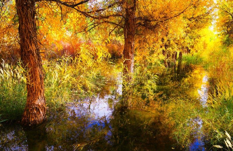 Foresta dorata del pioppo immagine stock libera da diritti