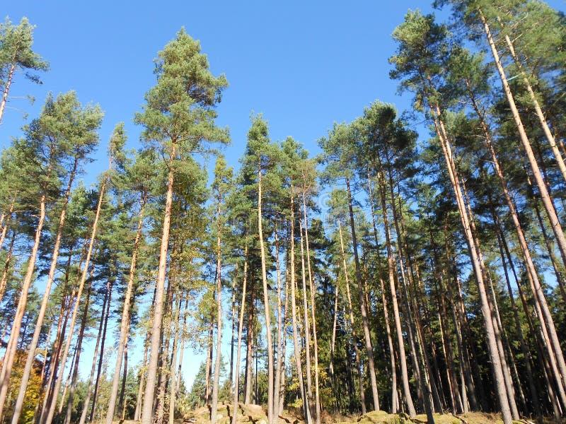 Foresta e cielo blu in Europa nell'estate fotografia stock