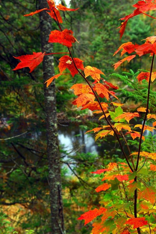 Foresta e fiume di caduta immagine stock