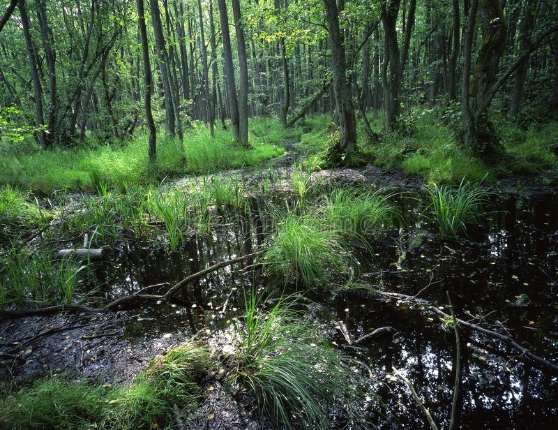 Foresta europea della palude fotografie stock