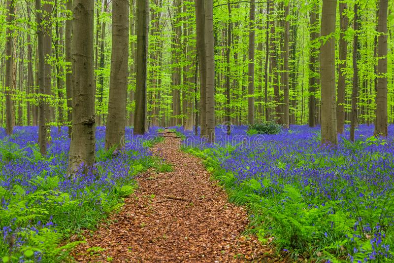 Foresta famosa Hallerbos a Bruxelles Belgio immagini stock