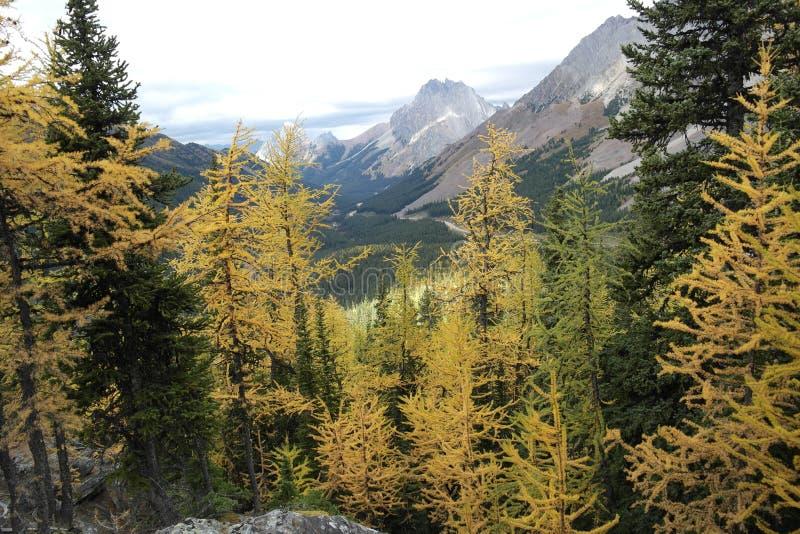 Foresta gialla dell'albero di larice nelle montagne fotografie stock