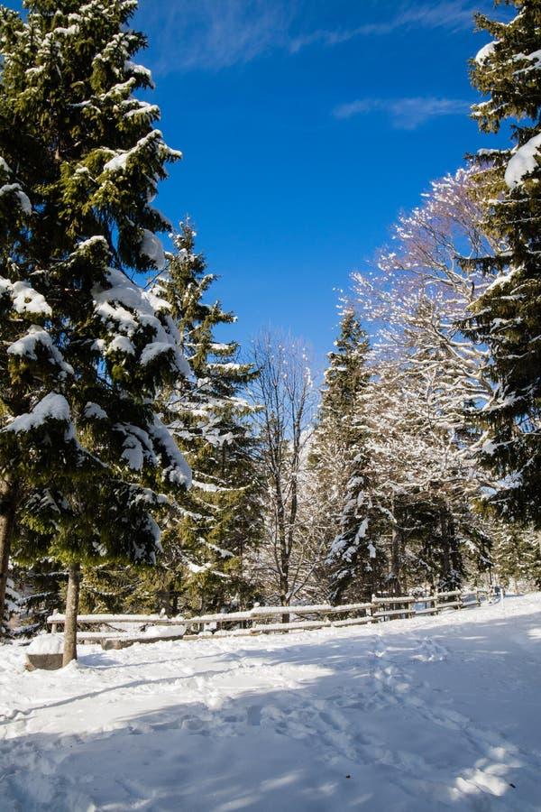 Foresta idilliaca di paesaggio di inverno con i pini nevosi in Julian Alps al sole e cielo blu, Italia immagini stock