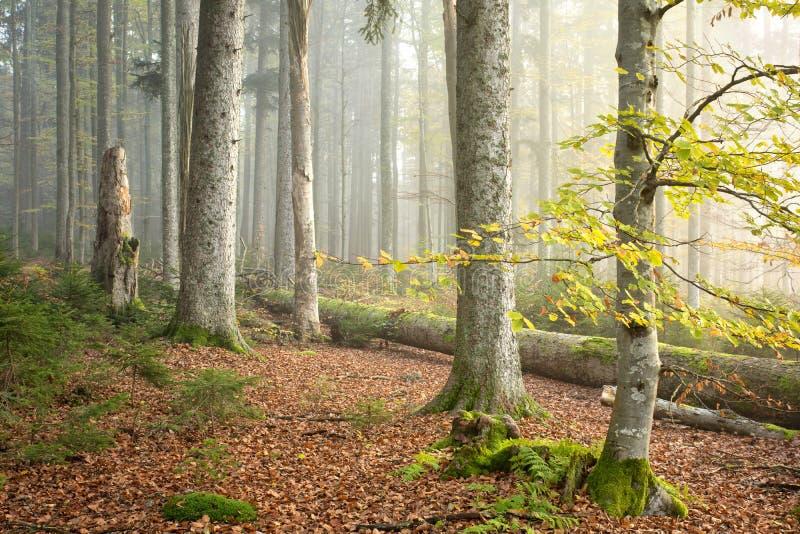 Foresta III del faggio (Fagus) fotografia stock