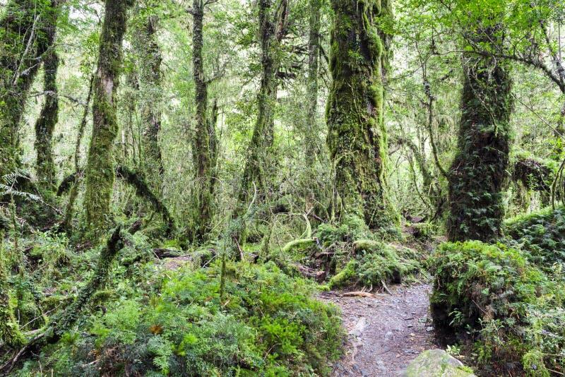 Foresta incantata, parco nazionale di Queulat (Cile) immagine stock