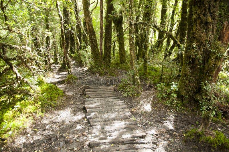 Foresta incantata - parco nazionale di Queulat - il Cile immagine stock