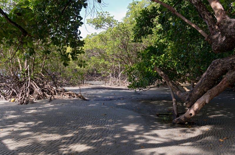 Foresta interna della mangrovia in Daintree immagini stock libere da diritti