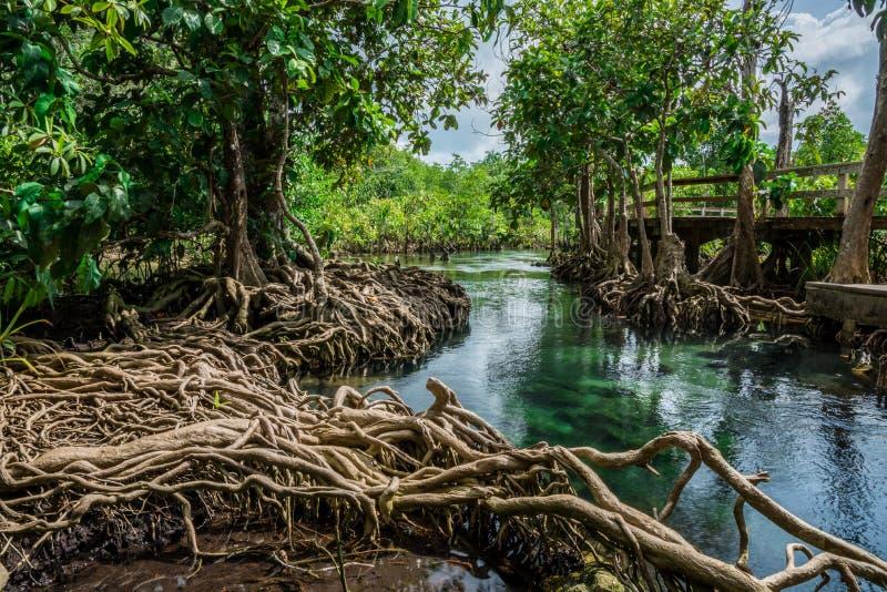 Foresta Krabi Tailandia della palude del pom di Tha immagini stock