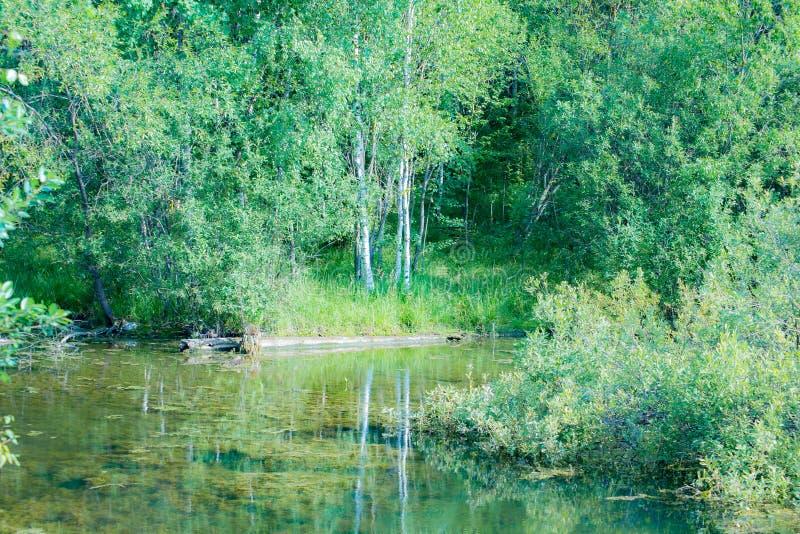 Foresta leggiadramente e stagno invaso in cui il pesce vive fotografia stock