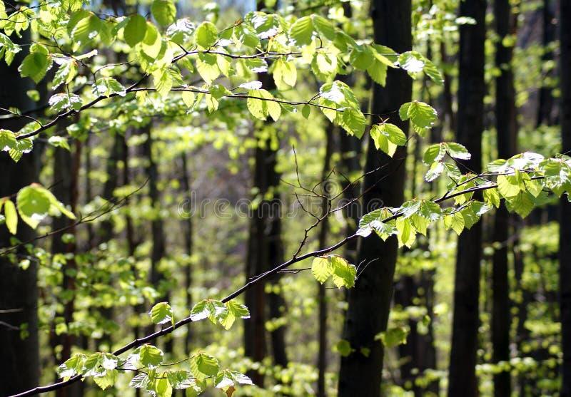 Foresta luminosa del faggio immagine stock libera da diritti