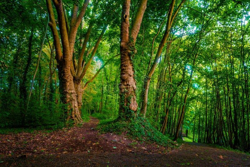 Foresta lunatica scura con il percorso e gli alberi verdi, fotografie stock