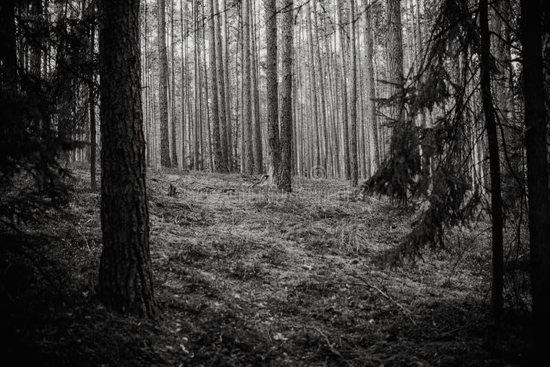 Foresta magica dell'atmosfera, sfondo naturale, in bianco e nero fotografia stock