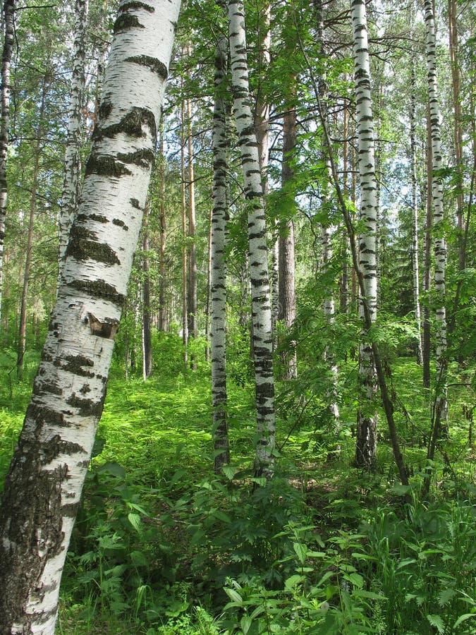 Foresta mista. Paesaggio di estate fotografia stock libera da diritti