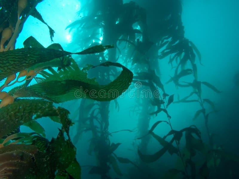 Foresta misteriosa del kelp fotografia stock libera da diritti