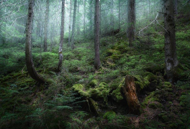 Foresta misteriosa della molla in nebbia Mattina in Ucraina immagini stock