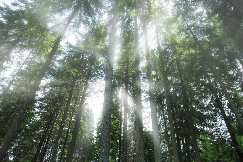 Foresta mistica nebbiosa, bella foresta nebbiosa con i raggi di sole, vista atmosferica, foresta dell'albero di abete di mattina immagini stock libere da diritti