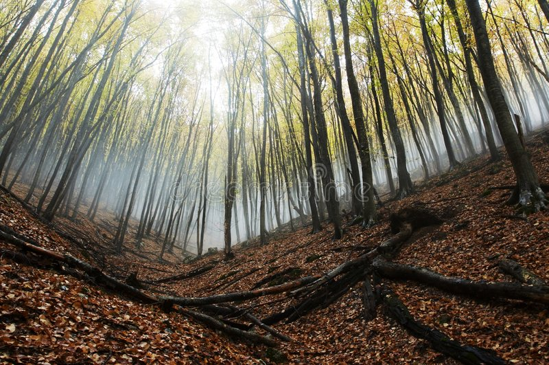 Foresta nebbiosa immagini stock libere da diritti