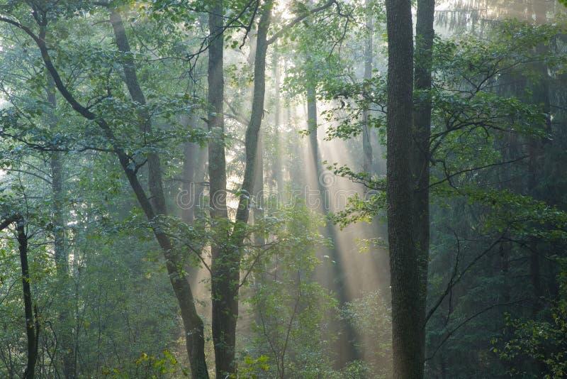 Foresta nebbiosa alla mattina immagine stock