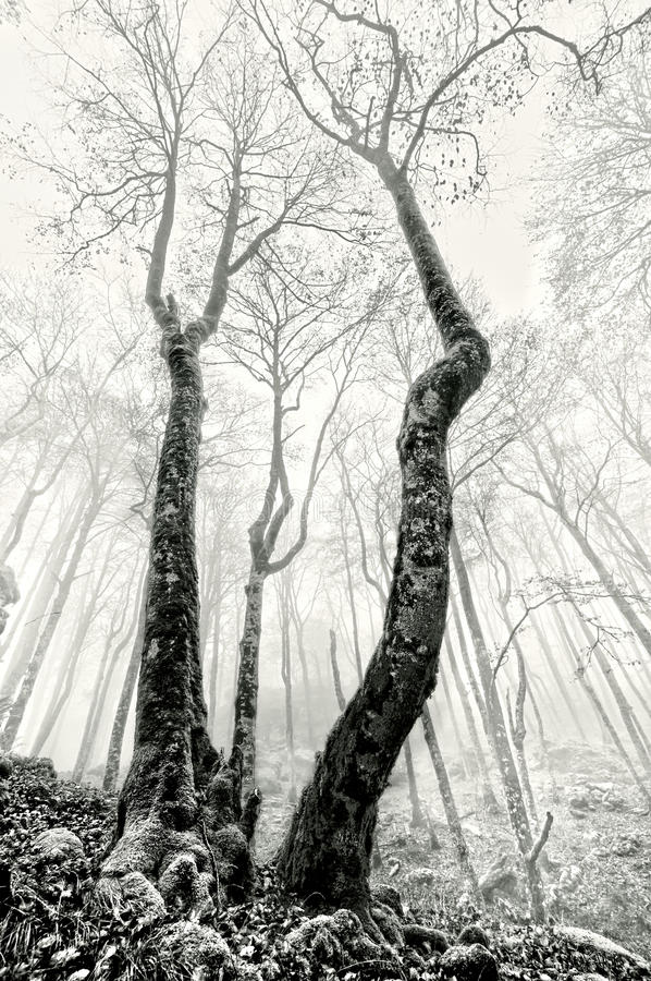 Foresta nebbiosa con gli alberi terrificanti in bianco e nero immagine stock libera da diritti