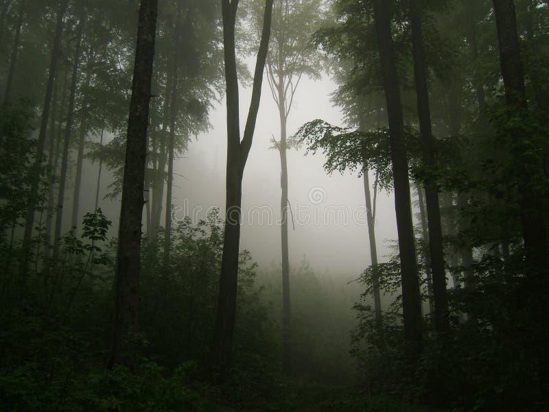 Foresta nebbiosa con i tronchi nudi immagine stock libera da diritti