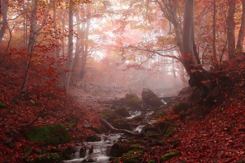 Foresta nebbiosa del faggio fotografia stock