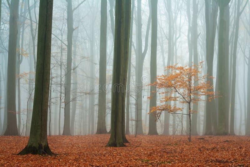 Foresta nebbiosa del faggio di autunno immagini stock