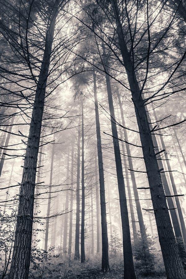 Foresta nebbiosa del pino fotografie stock libere da diritti