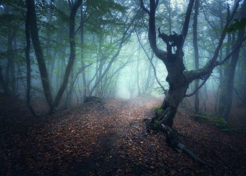 Foresta nebbiosa di autunno mistico di mattina Vecchi alberi fotografia stock libera da diritti