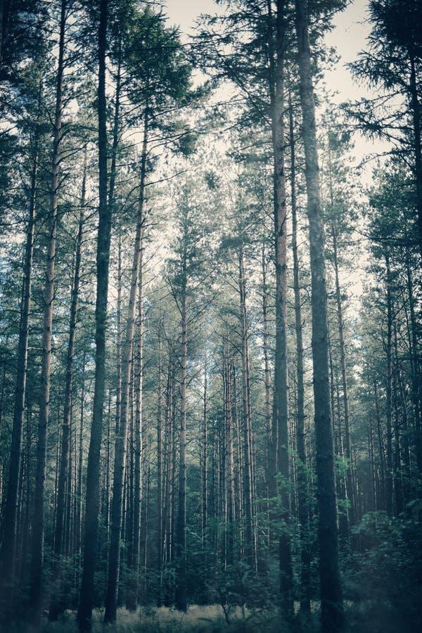 Foresta nebbiosa e lunatica con gli alberi alti fotografia stock libera da diritti