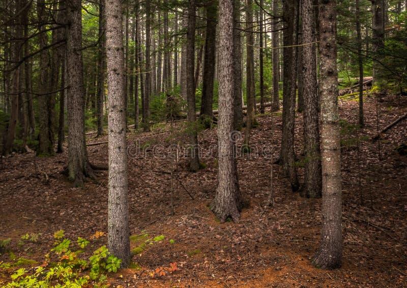 Foresta nel parco nazionale di acadia immagine stock libera da diritti