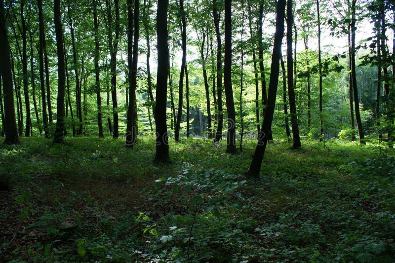 Foresta nell'estate in Danimarca fotografia stock libera da diritti