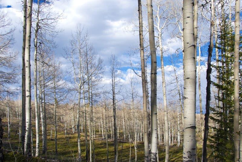 Foresta nuda dell'Aspen alla luce solare Dappled fotografia stock