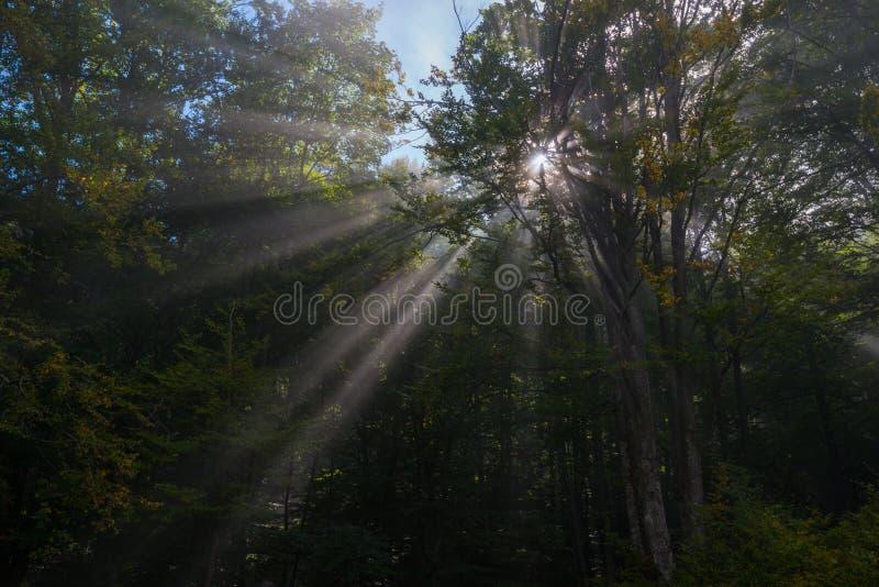 Foresta penetrata con i raggi di sole fotografia stock