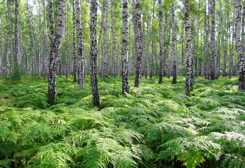 Foresta piacevole della betulla di estate fotografia stock