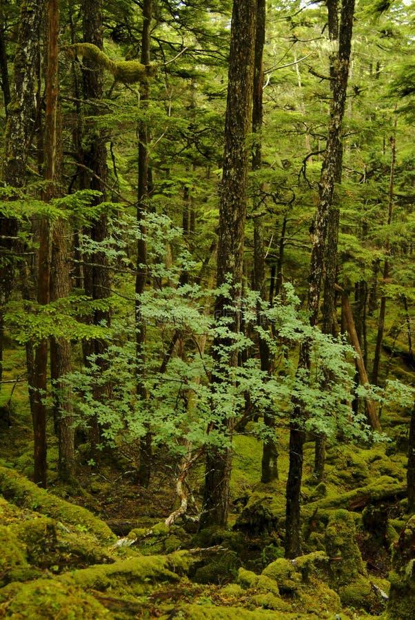 Foresta pluviale d'Alasca fertile immagini stock libere da diritti