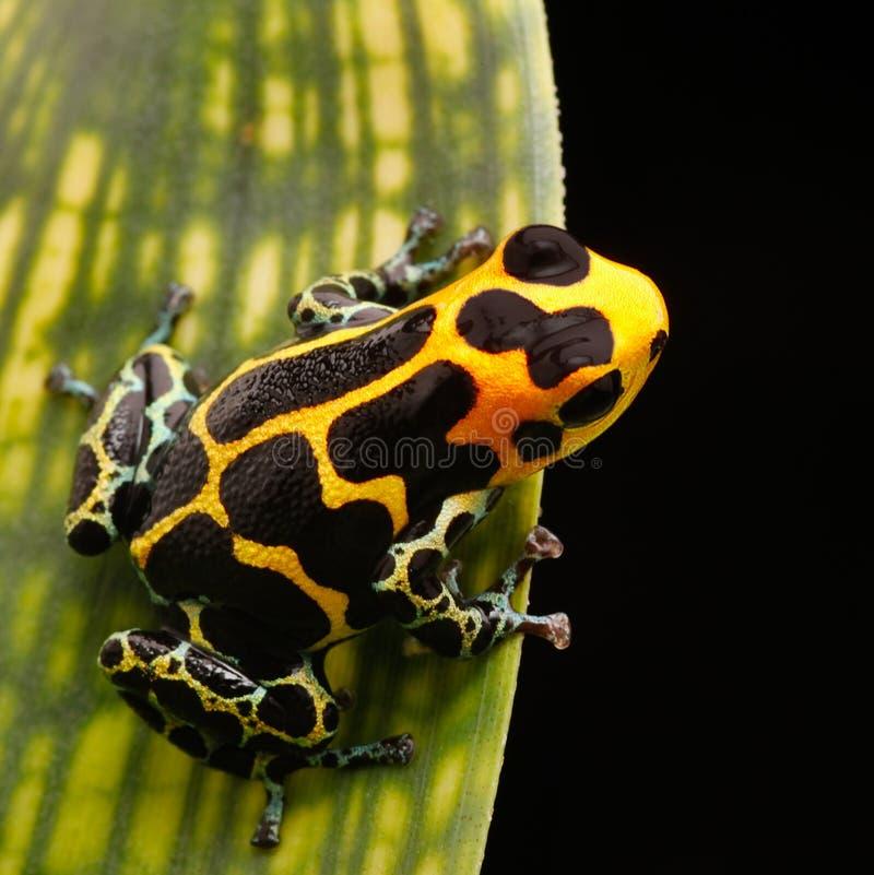 Foresta pluviale di Amazon della rana della freccia del veleno fotografie stock libere da diritti