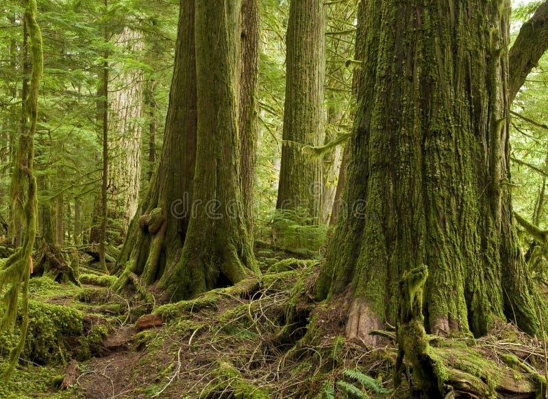 Foresta pluviale occidentale del cedro rosso fotografie stock