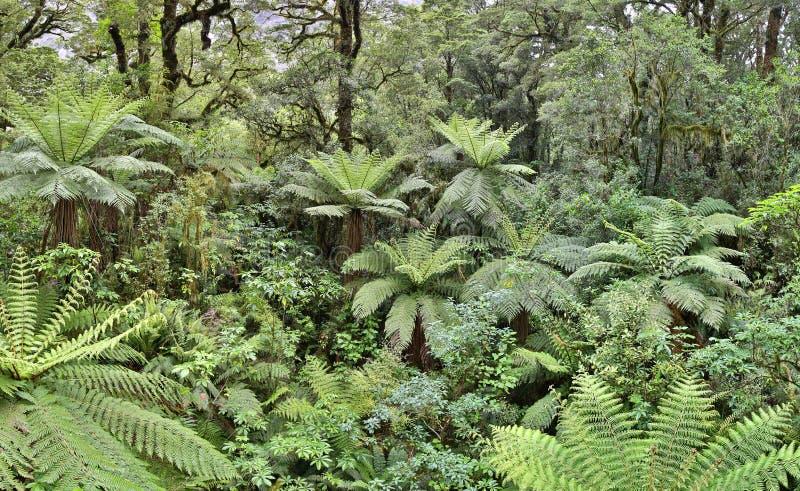 Foresta pluviale temperata con gli alberi della felce (Fjordland, Nuova Zelanda) immagini stock libere da diritti