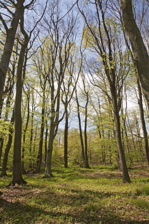 Foresta in primavera immagini stock