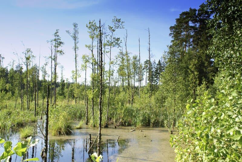 Foresta primigenia. immagini stock libere da diritti
