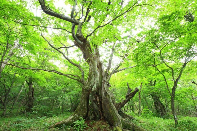 Foresta primigenia del castagno fotografia stock