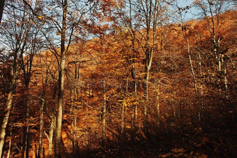 Foresta rossa di autunno sul legno della montagna a carpatico sulle luci e sulla s fotografie stock