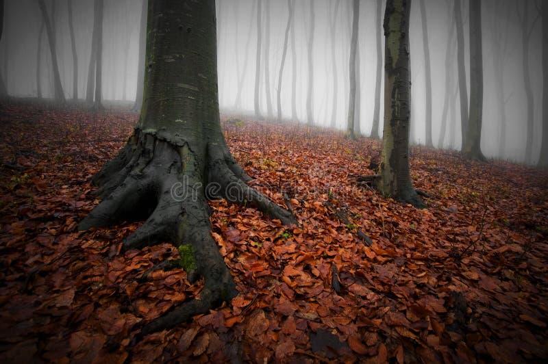 Foresta scura con nebbia, le foglie di rosso e gli alberi con le grandi radici su Halloween fotografie stock