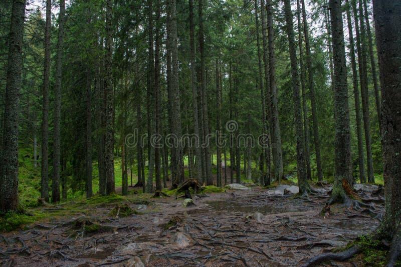 Foresta scura terrificante con gli alberi alti immagini stock
