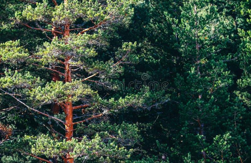 Foresta sempreverde del pino soleggiato, contesto dei tronchi di alberi Foto D fotografie stock libere da diritti