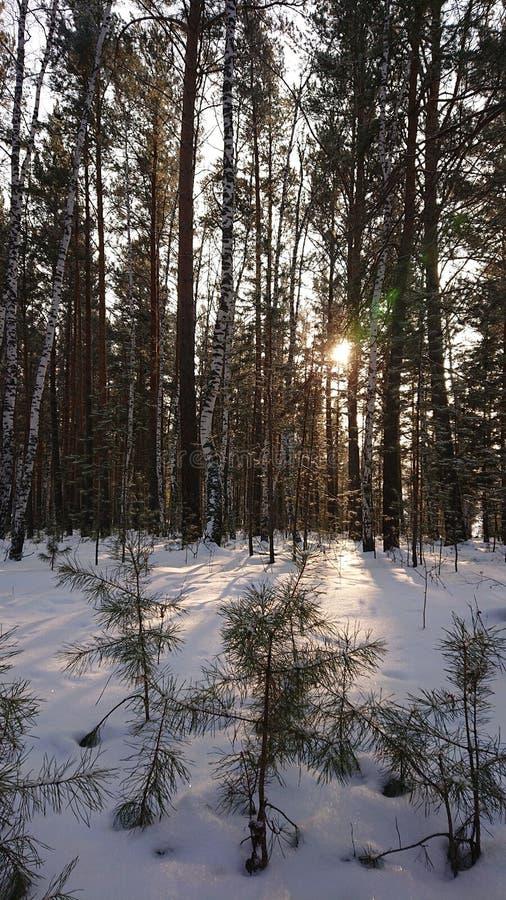 Foresta in Siberia immagini stock libere da diritti