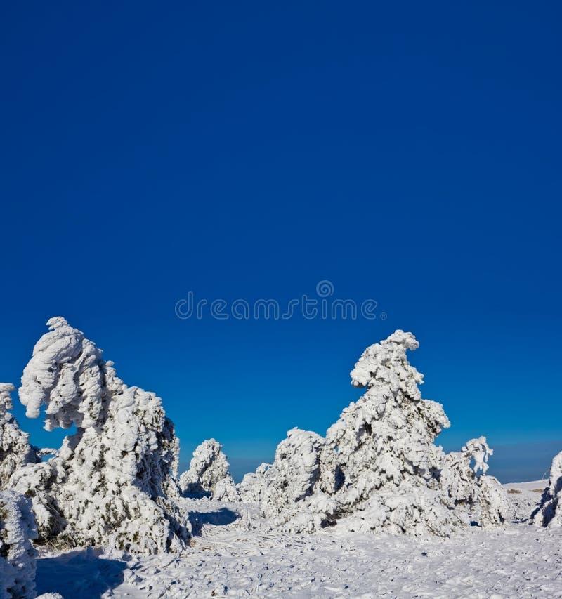 Foresta Snowbound del pino immagine stock