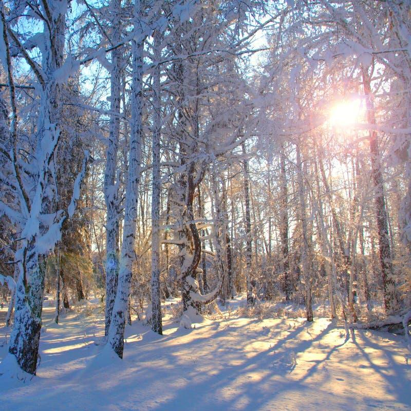 Foresta Snowbound di inverno fotografia stock